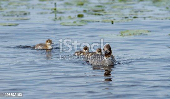 Sawyer merganser swimming (Mergus merganser) calmly on the waters of Lake Zegrzyski in Poland