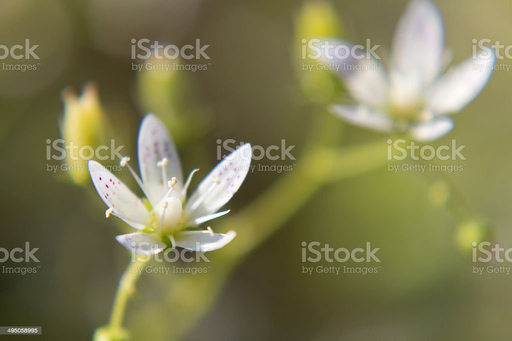 Saxifraga rotundifolia stock photo