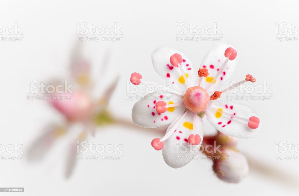 Saxifraga x Urbium London Pride on Light Background stock photo