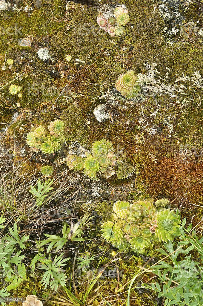 Saxifrage. Sparse vegetation of Yakutia. stock photo