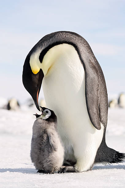 Say Ahhhh! Close-up of adult Emperor Penguin getting ready to feed chick. Antarctica. emperor penguin stock pictures, royalty-free photos & images