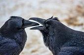 Two Ravens engaging in a bit of play.  Taken in Banff, Alberta