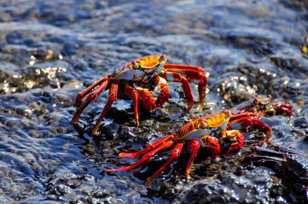 Sayapas, Galapagos Crabs stock photo