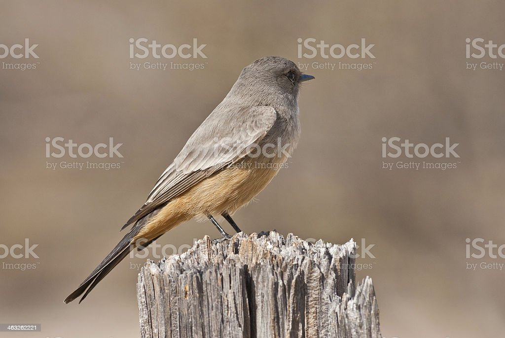 Say's Phoebe on a Fence Post royalty-free stock photo
