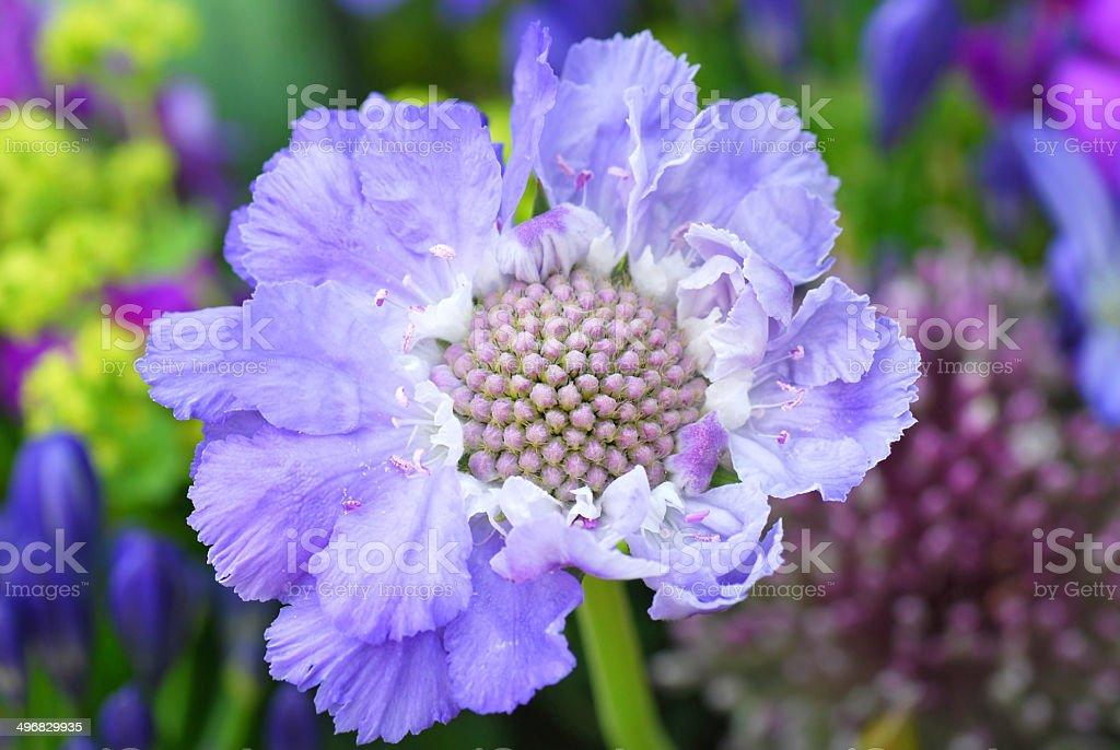 Scabiosa Caucasian pincushion flower stock photo