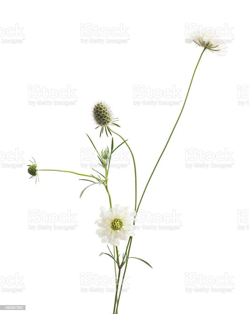 Scabiosa flower stock photo