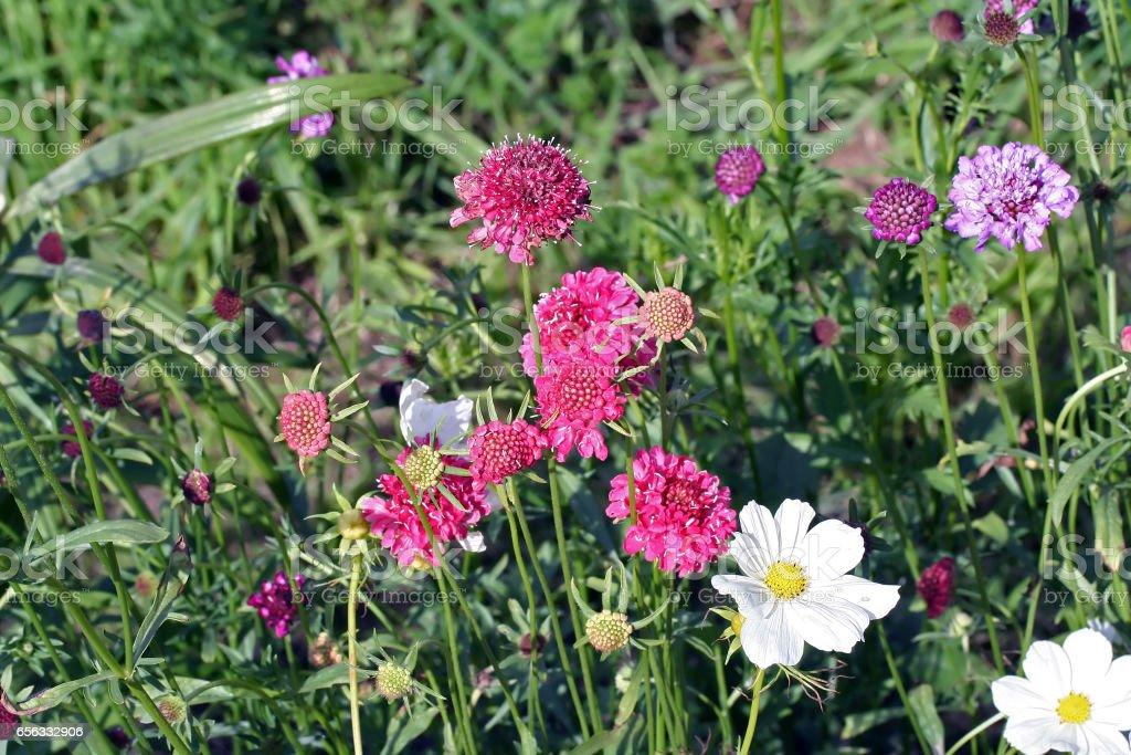 Scabiosa (pincushion flower) stock photo