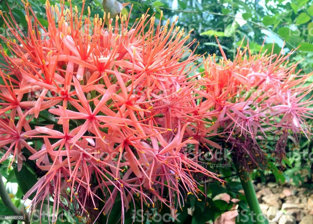 Scadoxus Multiflorus Katherinae flowers stock photo