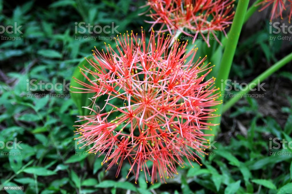 Scadoxus multiflorus stock photo