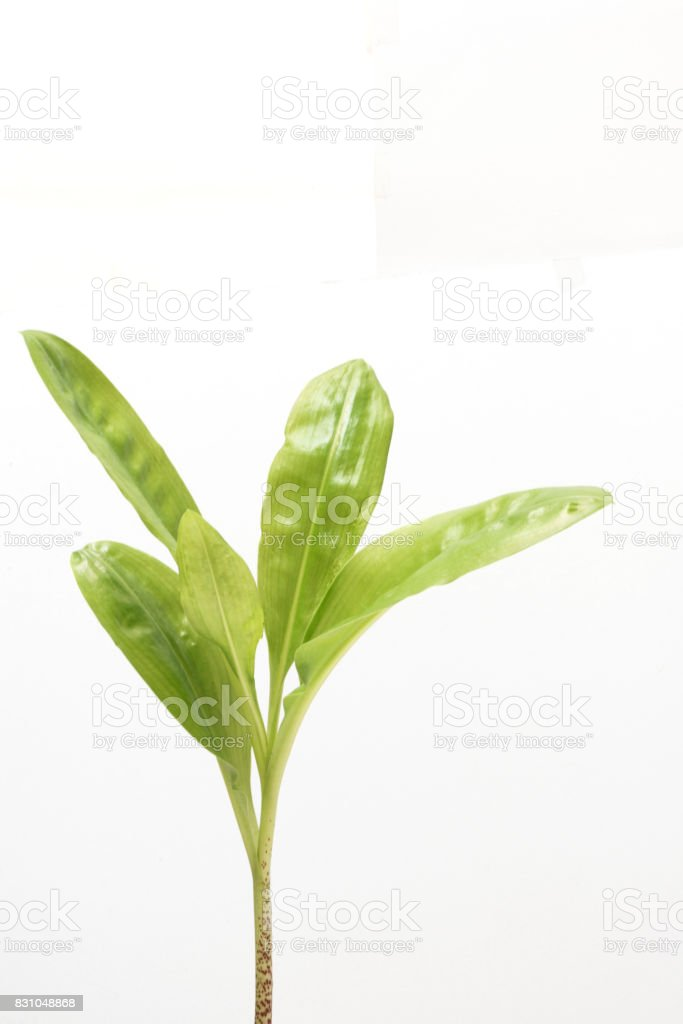 Scadoxus multiforus leaves stock photo