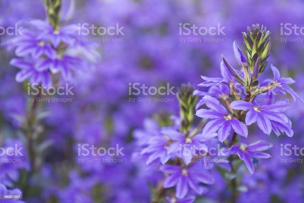 Scaevola flowers royalty-free stock photo