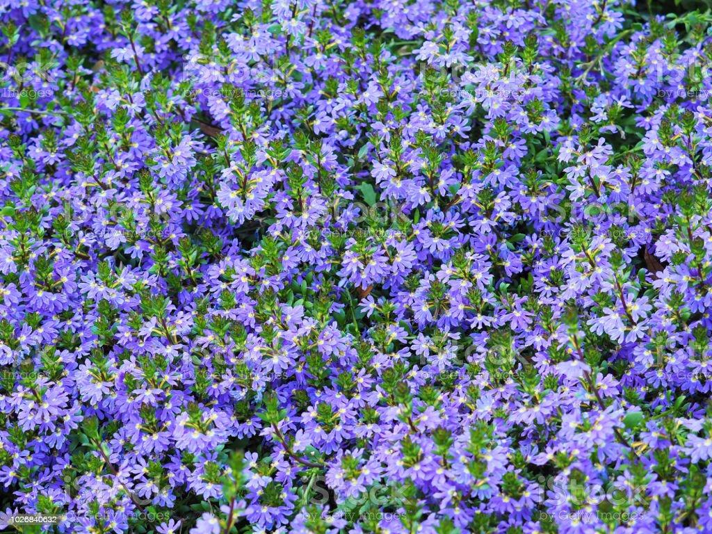 Scaevola Nitida Background Scaevola Is A Plants With Green Foliage