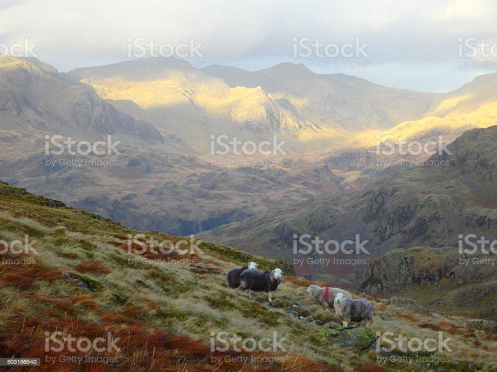 Scafell Pike & Herdwick Sheep stock photo