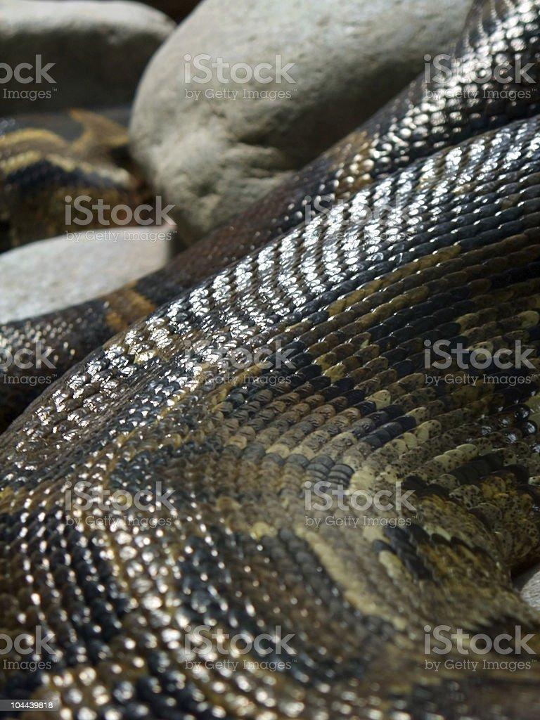 scaled glossy Python detail stock photo