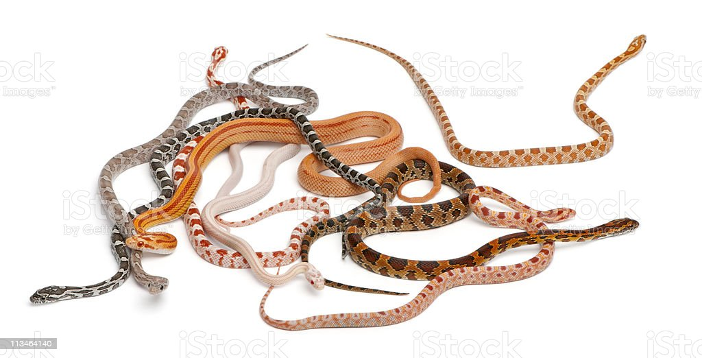 Scaleless Corn Snakes, Pantherophis Guttatus, white background. stock photo