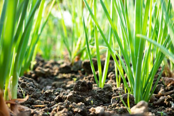 scallion grow on dirt under sunshine stock photo