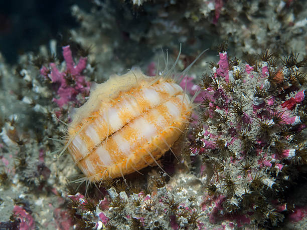 scallop - naturediver stock pictures, royalty-free photos & images