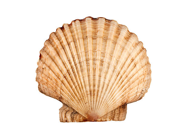 scallop. - animal body part stock pictures, royalty-free photos & images