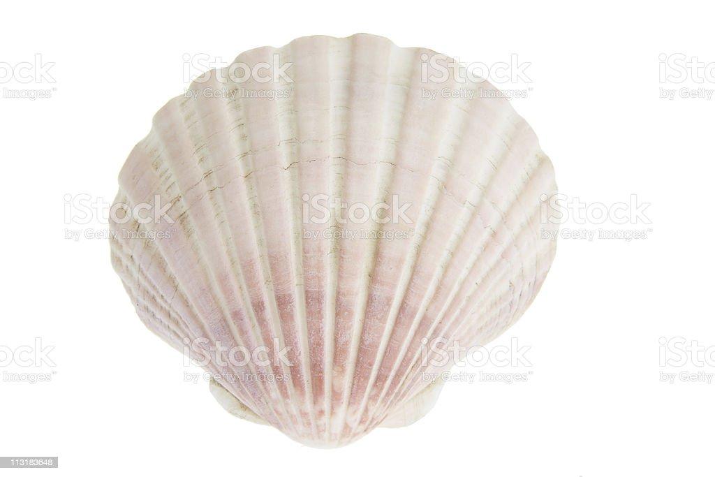 Scallop Seashell royalty-free stock photo