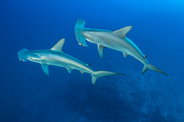 Scalloped Hammerhead Shark Scalloped Hammerhead Sharks in Redsea dorsal fin stock pictures, royalty-free photos & images