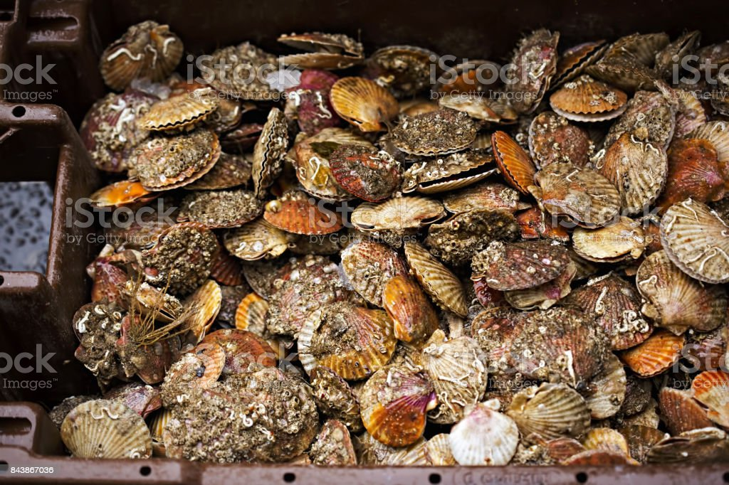 Scallops in container on seafood market stock photo