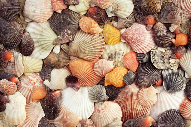 scallops - pink and orange seashell background stockfoto's en -beelden