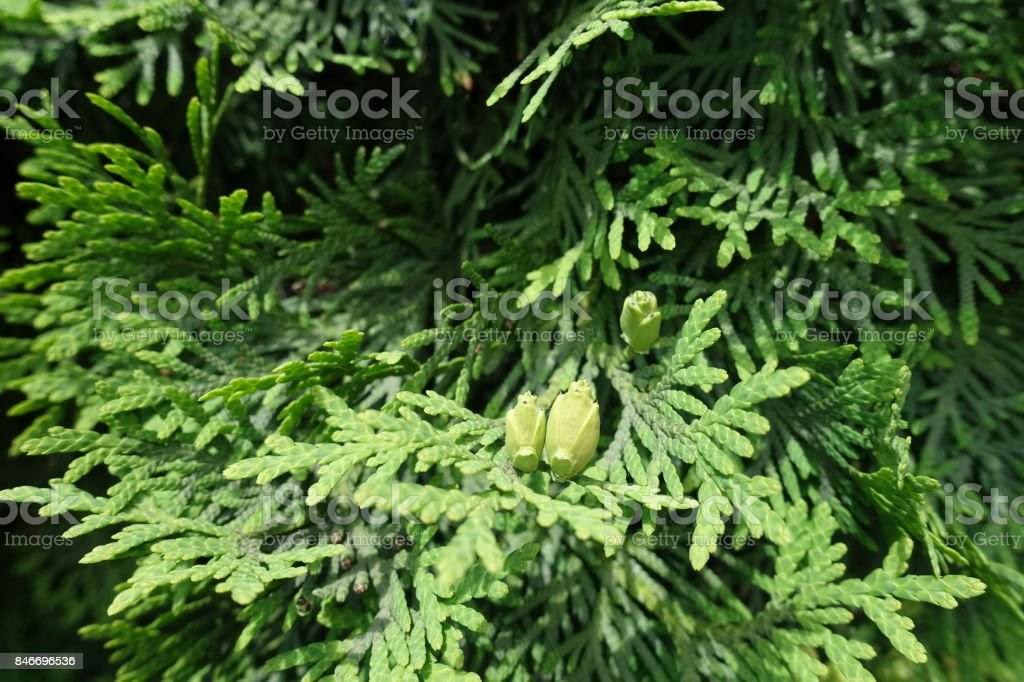 Scaly leaves and immature seed cones of Thuja occidentalis stock photo
