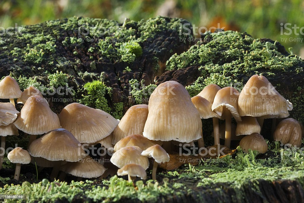 Scaly Rustgillns and lichens royalty-free stock photo