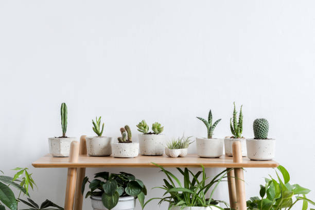 Scandinavian room interior with plants, cacti and succulents composition in design and hipster pots on the brown shelf. White walls. Modern and floral concept of home garden. Nature love. Minimalistic home interior with composition of home garden. Plants love. plant stock pictures, royalty-free photos & images