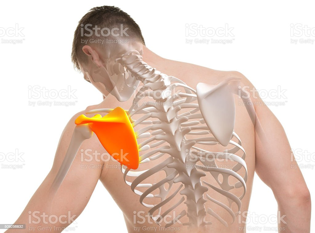Scapula Man Anatomy isolated on white stock photo