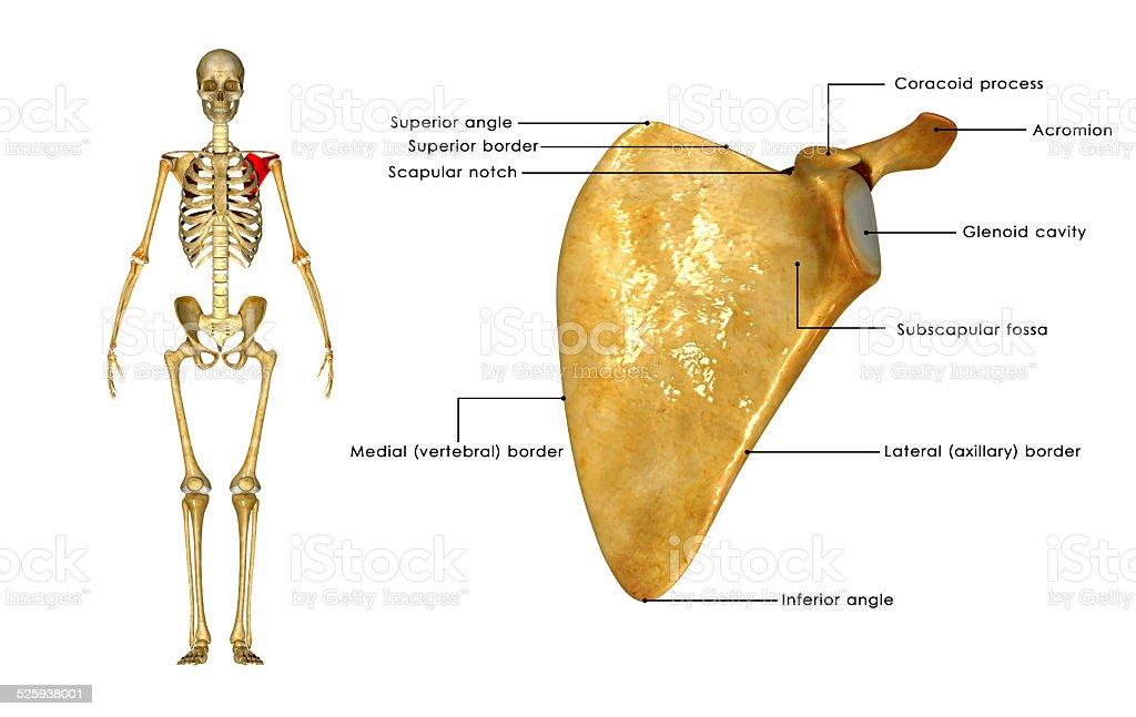 Schulterblatt Stock-Fotografie und mehr Bilder von Anatomie | iStock