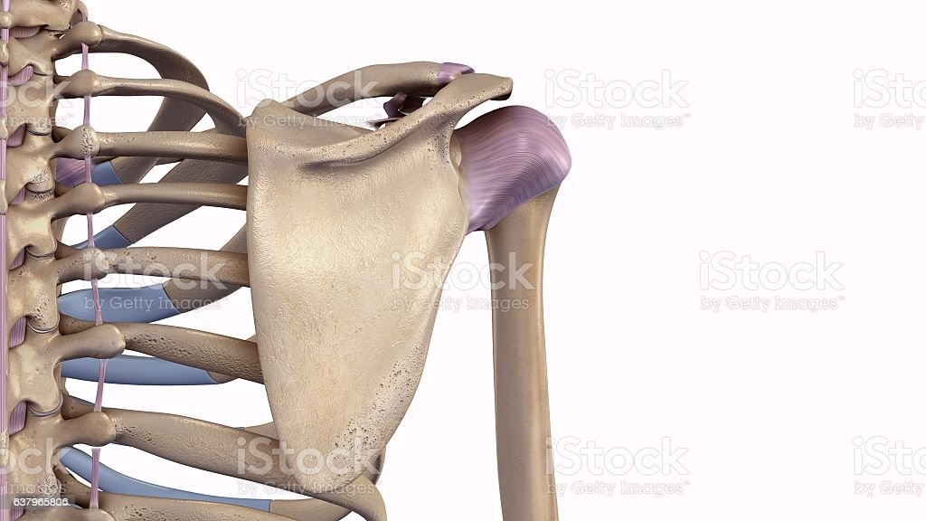 Scapula with ligaments vector art illustration