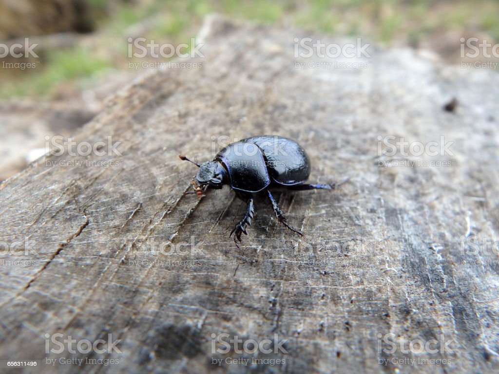 scarab ,(Geotrupes stercorarius)beetle, bug, stock photo