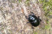 Scarab Beetle On Tree