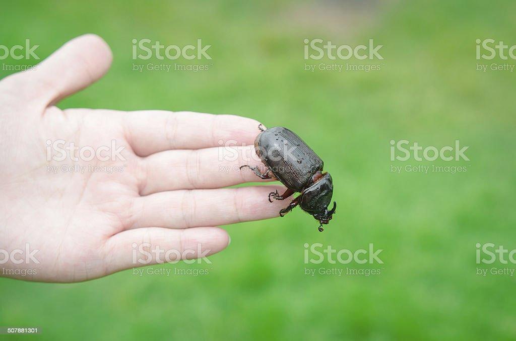 Scarab beetle on woman hand stock photo