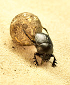 Scarab beetle or scarabaeus with ball. Ball-roller or dung beetle on a sand dune. Desert animal, close-up.