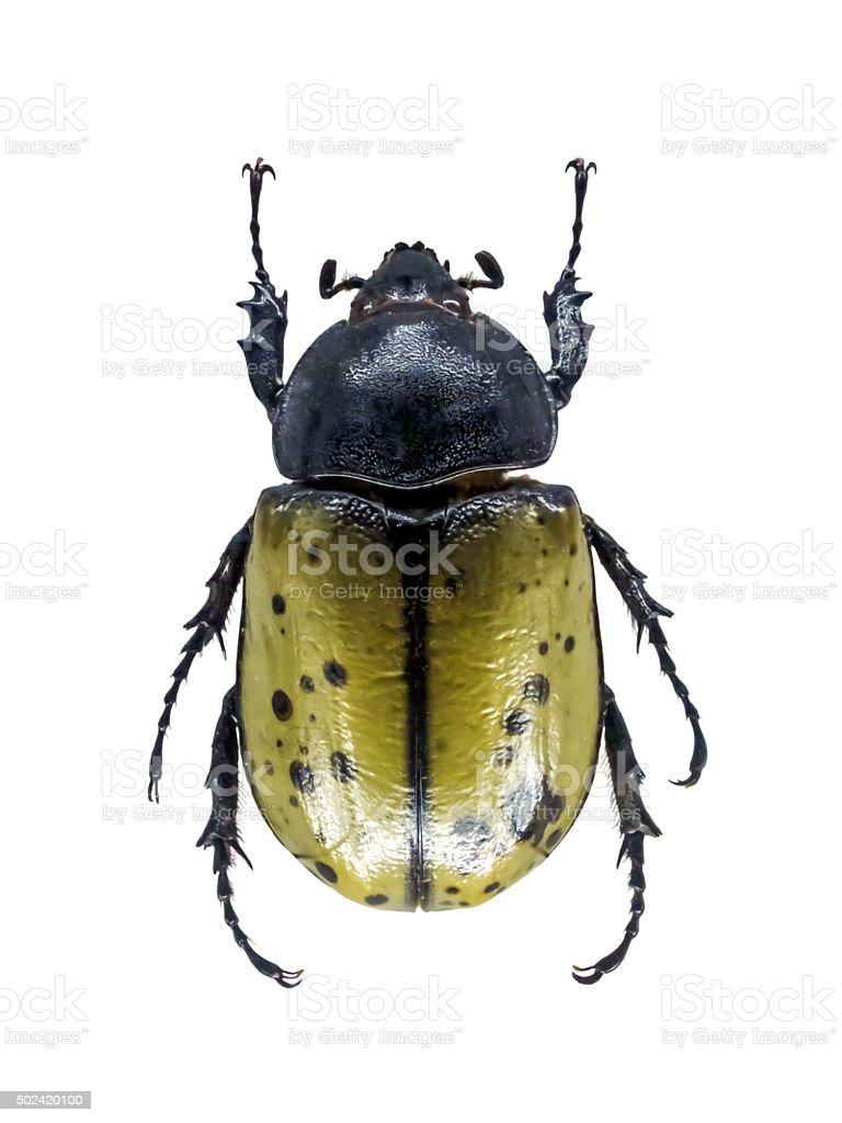 Scarab Beetle stock photo