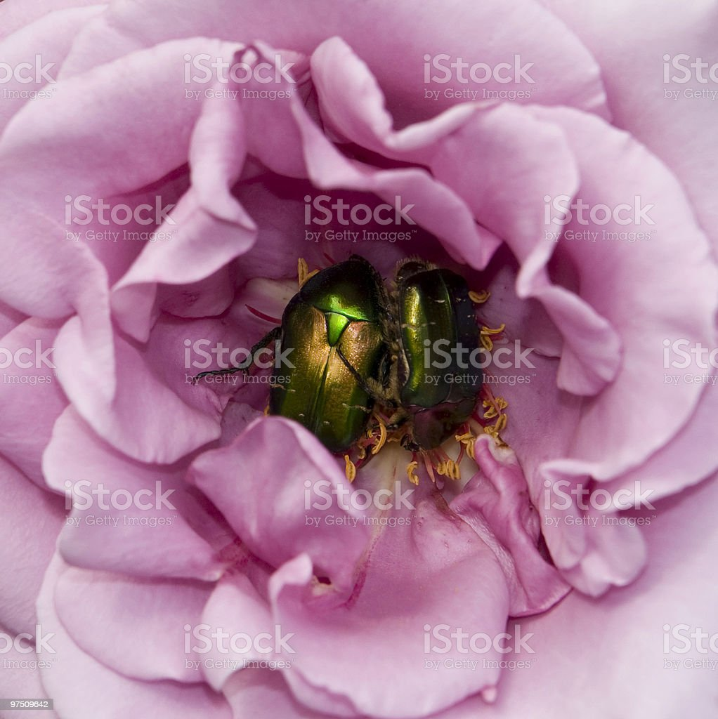 Scarabs inside a flower royalty-free stock photo