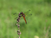 Scarce chaser (Libellula fulva), female. Dragonfly on the dry grass in its natural habitat. Fauna of Ukraine. Shallow depth of field, close-up.