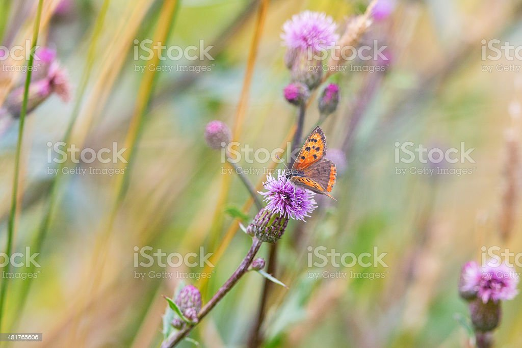 Scarce Copper butterfly stock photo