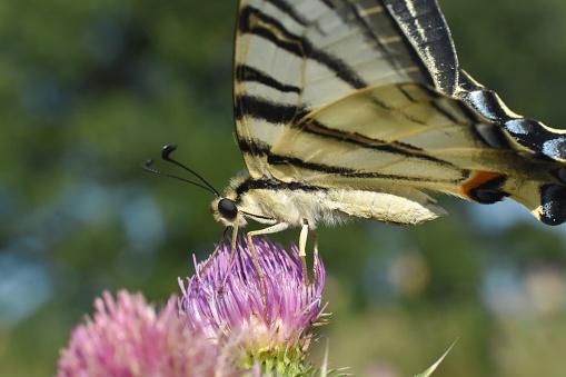 Scarce Swallowtail (Iphiclides podalirius) butterfly on wild flowers