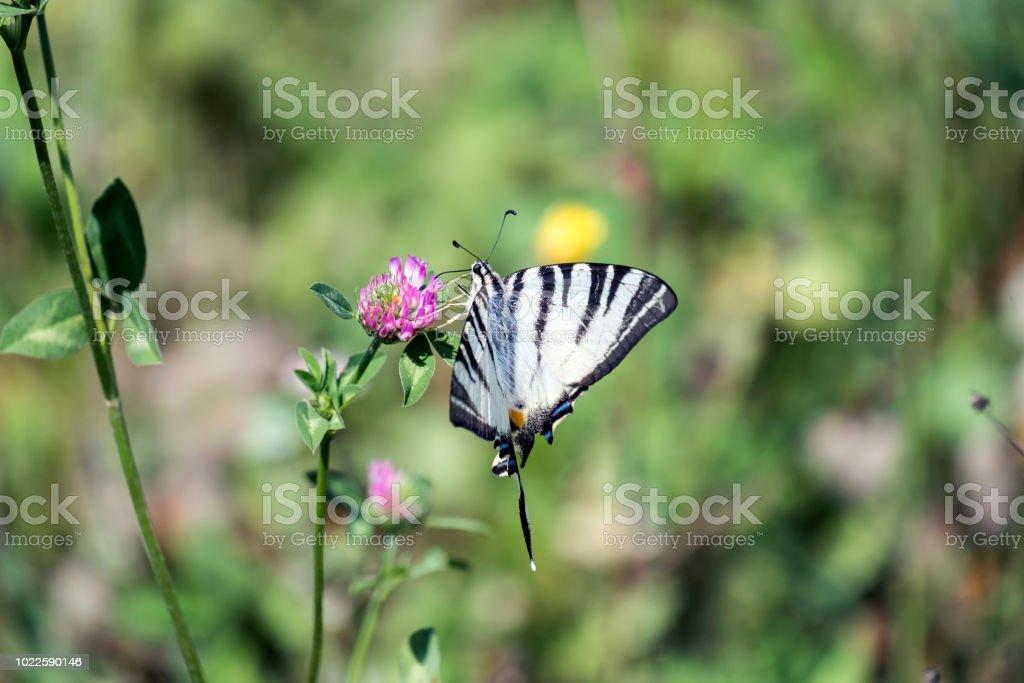 12e672e5d03c40 Knappen Schwalbenschwanz. Schmetterling mit Schneewittchen Grundfarbe kühn  mit schwarzen tigerähnlichen Streifen läuft von der Vorderkante