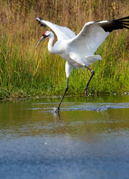 Scarce whooping crane in wetland setting. stock photo