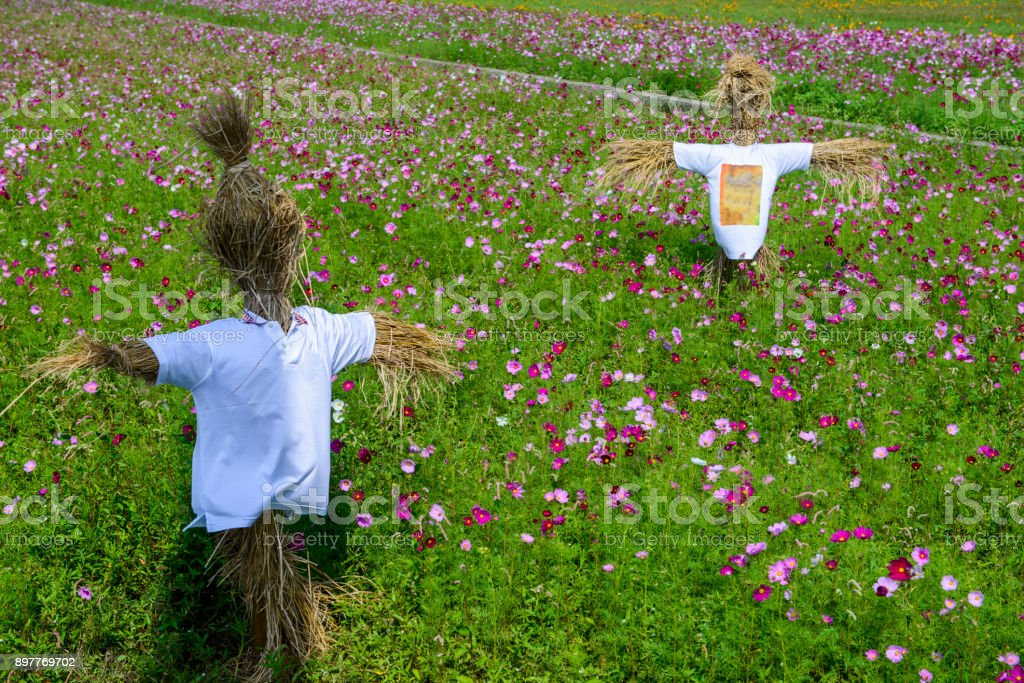 Scarecrow in  cosmos field stock photo