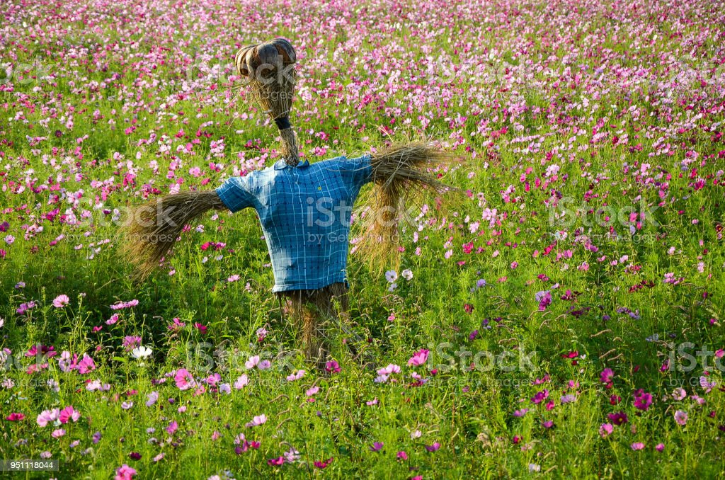 Scarecrow in cosmos flower field stock photo