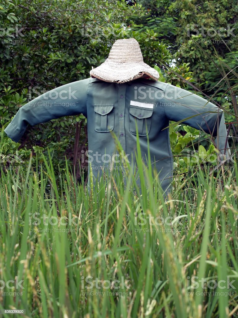 scarecrow in green shirt with woven straw hat protect rice paddy field from birds and pests stock photo