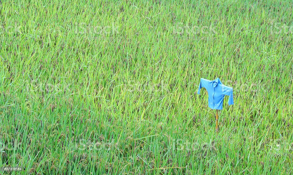 Scarecrow in paddy field stock photo