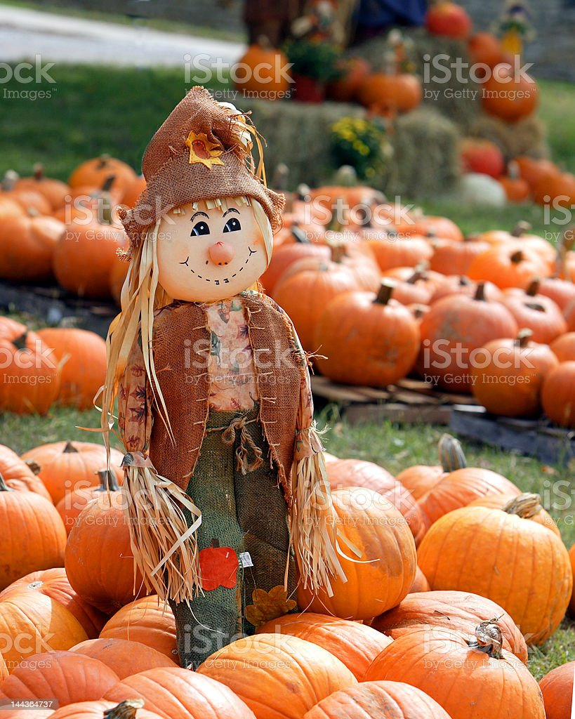 Scarecrow in patch of pumpkins stock photo