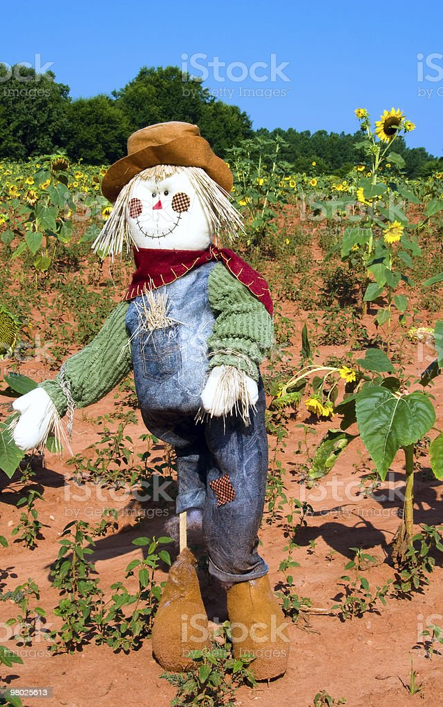 Scarecrow in sunflower field royalty-free stock photo