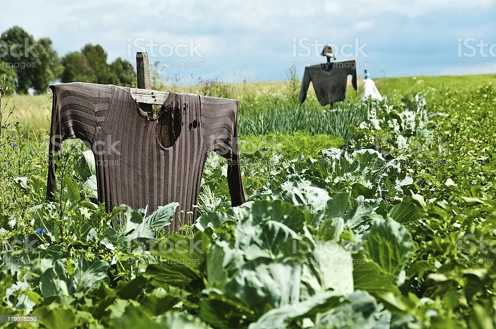 scarecrow on a field stock photo